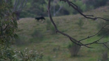 The photograph that Jeff and Ruth Gulson took of the animal on their property.