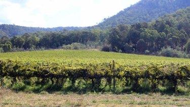 The drug crop was concealed under grape vines.