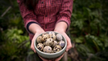Quail eggs are much smaller than chook eggs.
