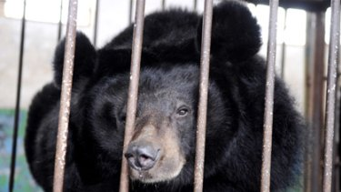 Behind  bars... one of the bears found by the Animals Asia Foundation.
