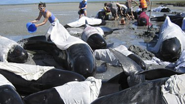 New Zealand residents rush to try and save pilots whales stranded at Puponga Point in Golden Bay.