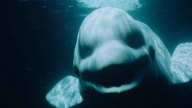 Noc the whale ... mimics human voices.
