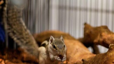 Pest potential ... a male squirrel for sale for $1200 in a Broadway pet store.