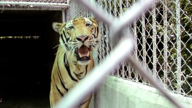 A tiger stands in a cage at a property suspected to be a slaughterhouse in Saiyok, west of Bangkok.
