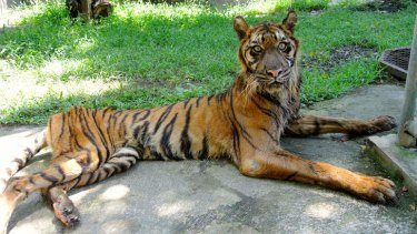 Shocking facilities: Melani, a severely underweight Sumatran tiger, is wasting away.