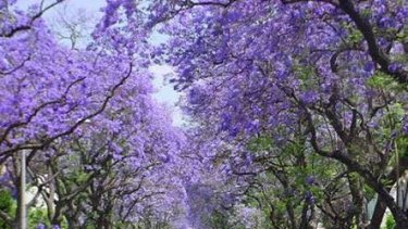 Applecross is famous for its verge plantings of jacaranda trees.