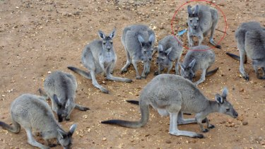 The kangaroo shot with an arrow had to be put down.