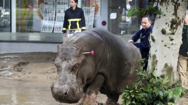A man directs a hippopotamus after it was shot with a tranquiliser dart in the flooded streets of Tbilisi.