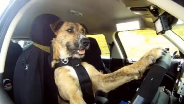 Did this driving dog make you laugh out loud?