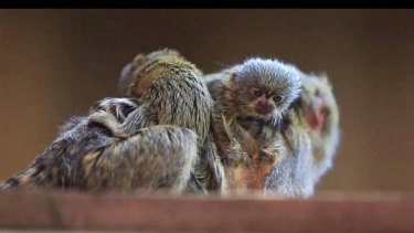 The four-week-old baby pygmy marmoset has been found but two other monkeys are still missing.