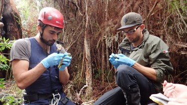Dejan Stojanovic and his PhD student Ross Crates carefully measure orange-bellied parrot nestlings.
