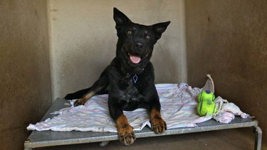 Waiting for a new home ... Oscar is in need of adoption from the Yagoona RSPCA shelter.