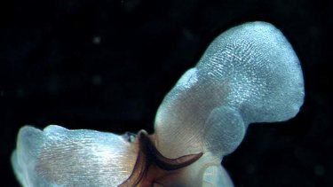 The Australian pteropod which is one of the sea animals vulnerable to ocean acidification.