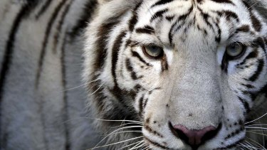 A white tiger ... one of the magnificent species on the endangered list.