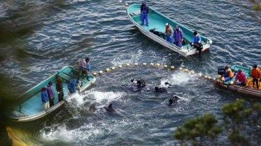 Fisherman corral dolphins during last season's hunt in Taiji, Japan.