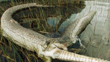 Sticky end ... a dead alligator protrudes from the ruptured mid-section of a four-metre Burmese python.