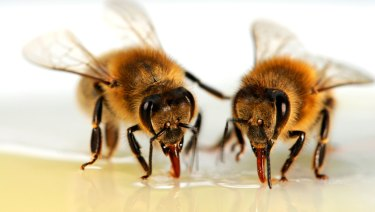 The varroa mite weakens and kills bees.