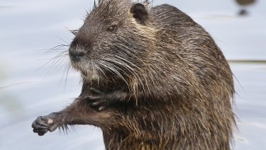 A Nutria, or river rat, sits on a stone.