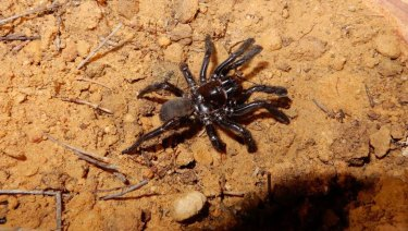 A female Gaius villosus spider, who lived in Western Australia's Central Wheatbelt and died at the ripe old age of 43.