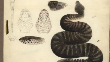 The illustration by Gerard Krefft of a death adder collected on the Blandowski expedition was detailed down to the individual scales and was a key piece of evidence in proving the species was once found in Victoria.