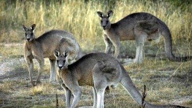 Canberra's eastern grey kangaroos