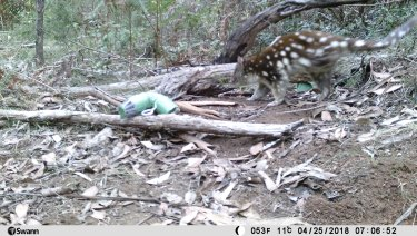 The quoll was attracted to sardines left behind by a hiker.