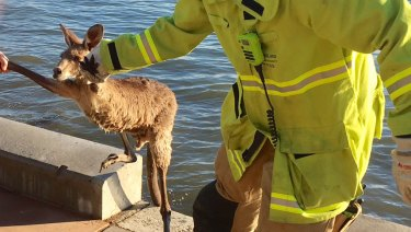 The kangaroo was pulled free of what could have been a damp situation.