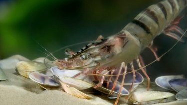 CSIRO investigates impact of pesticides on black tiger prawns in Queensland.