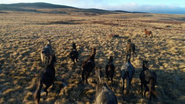 Brumbies take to the hoof on grasslands near Kiandra in the Snowy Mountains.