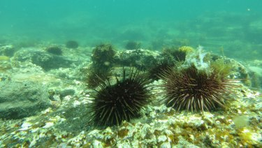 The urchins were everywhere, turning the seafloor into an underwater desert.