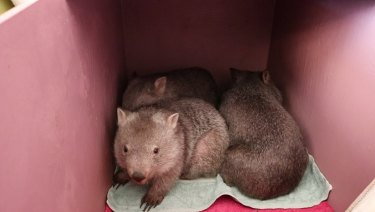 Juvenile wombats sleep in crates in her spare room and dining room.