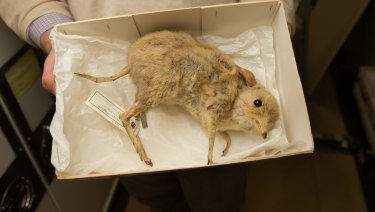 Among the species collected on the Blandowski expedition was this pig-footed bandicoot - its extinction not only saw the end of the species, but also an entire genus.