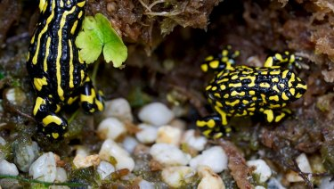 It is hoped that the southern corroboree frog will one day develop an immunity to the  chytrid fungus.