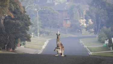 A driver has been critically injured after being hit by a kangaroo near Lithgow on Friday.
