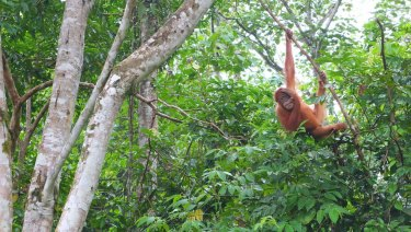 An orangutan savours freedom in the trees after being released back into the wild near Jantho, northern Sumatra.