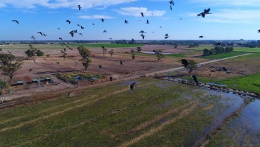 Water short: Ibis fly over the dairy herd of Daryl Hoey near Katunga in Victoria.