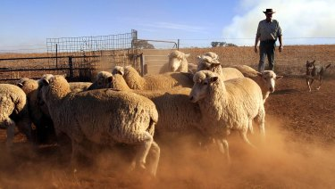 An Australian farmer and his dog muster sheep on his farm near Cowra, NSW.