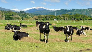 Dairy cows that supply milk to Fonterra Cooperative Group at a farm in Otaki, New Zealand.