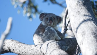 A koala in the Moree area of northern NSW. Land clearing is having a devastating impact on the koala numbers in the region.