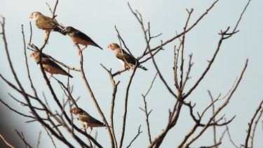 Zebra finches in the wild. Around 40 per cent of our bird can be found nowhere else in the world.