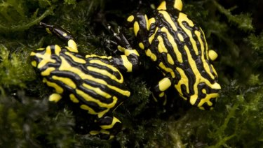 Southern corroboree frogs are critically endangered, prompting decades of conservation efforts to keep them from extinction.