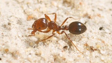 Red imported fire ants are one of the most invasive and damaging species of ant.