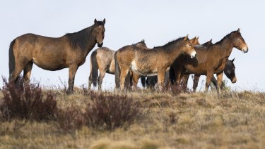 Wild brumbies in the Kiandra region of the Kosciusko National Park.