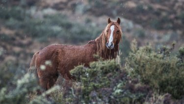 Brumbies are dubbed 'heritage horses' by the NSW government but 'feral horses' by the Victorian one.