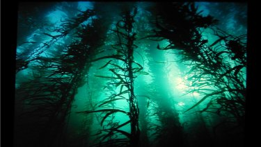 Giant kelp forests off Tasmania's east coast have been hard hit by warming waters.