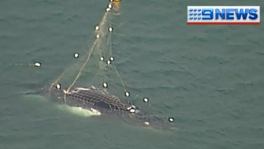 A humpback whale is caught in shark nets off Noosa.