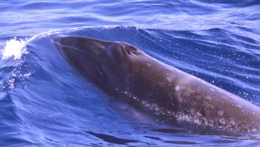 One of the few existing photos of a pygmy right whale.