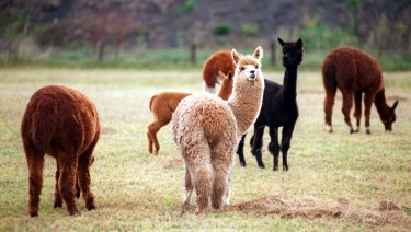 Both groups of murdered alpacas were shot with a small calibre gun, police say. (FILE PHOTO)