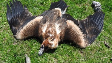 The body of an eagle found on a farm in Tubbut in far East Gippsland last month.
