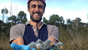 Dr Dejan Stojanovic out in the field in Tasmania with young orange-bellied parrots.